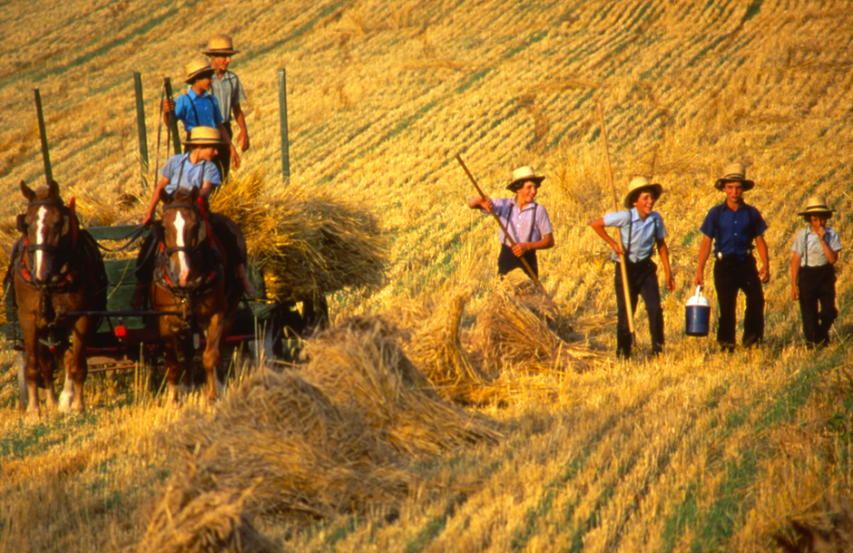 Amish boys harvest wheat in Lancaster County